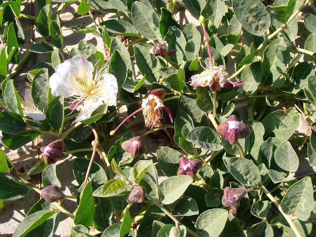 ALCAPARRA: Capparis spinosa