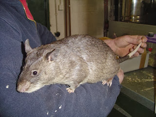 Tikus Raksasa Pemakan Bayi Afrika