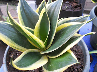yellow-green bromeliad from my garden