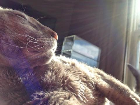 Cornish Rex Cat sunbathing