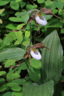 [Orchidaceae] - Cypripedium montanum - Mountain Lady's Slipper