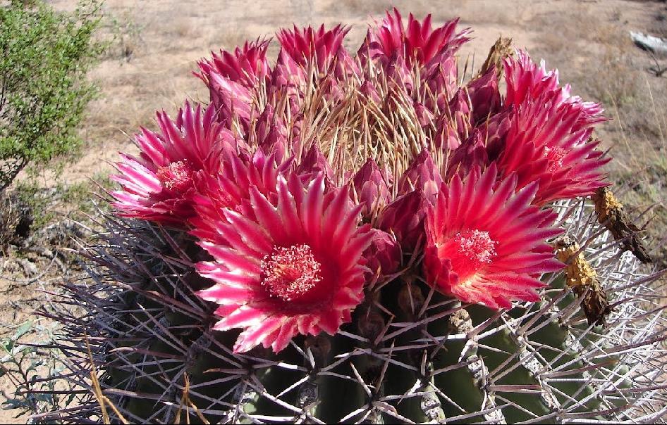 viznaga en flor en el desierto de altar en sonora