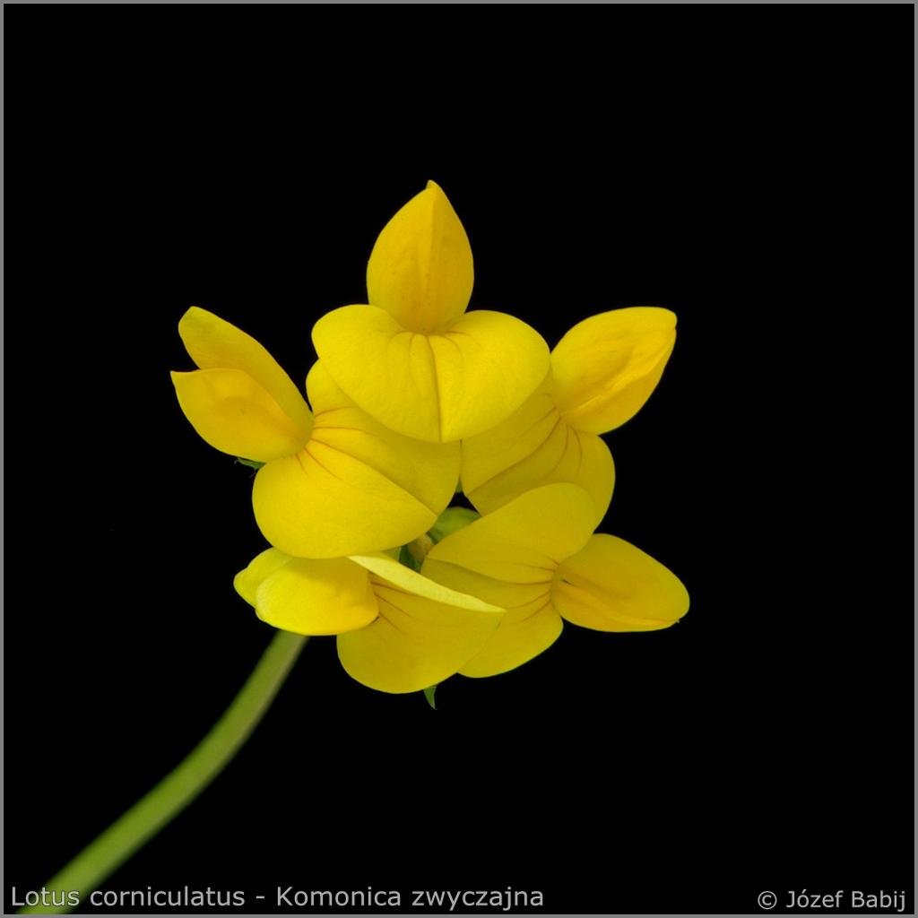 Lotus corniculatus   inflorescence   - Komonica zwyczajna  kwiatostan