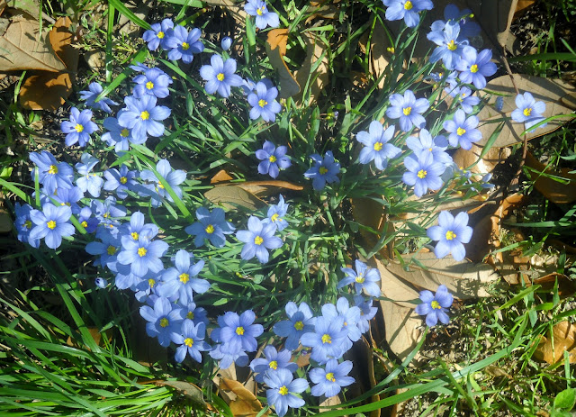 Dotted Blue-eyed Grass at White Rock Lake, Dallas, Texas