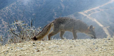 catalina island fox