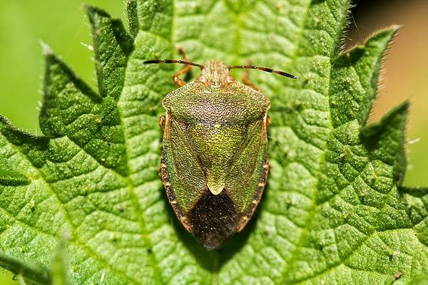 Common Green Shield Bug