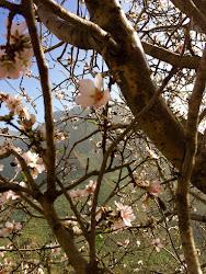 Utsikt från ett mandelträd