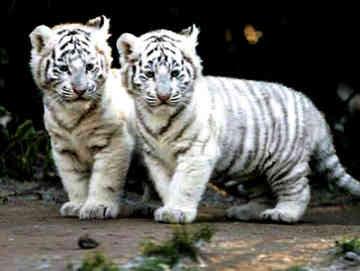 myth white tiger