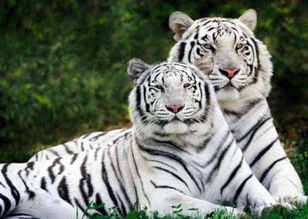 white tiger wallpapers. Top 10 Best Rare White Tiger