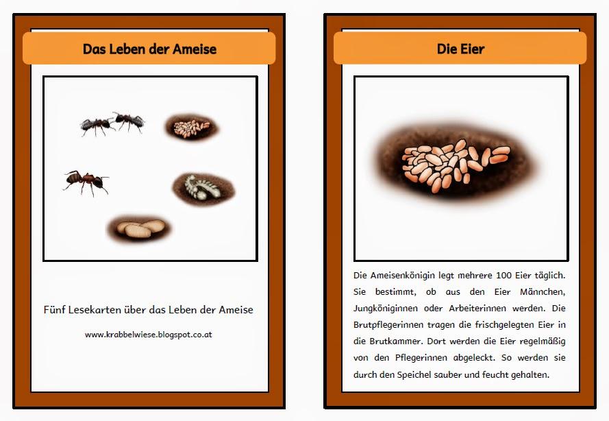 krabbelwiese (im Ruhemodus): Lebenszyklus Ameise