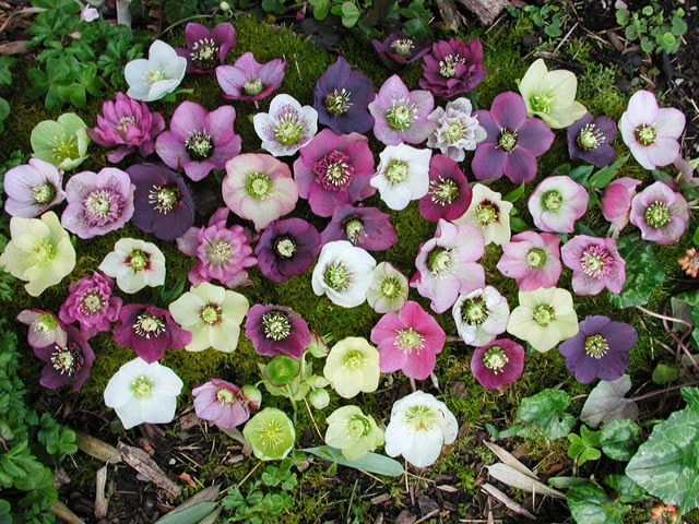 how to plant and grow hellebores