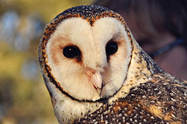 winterfest owl