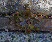 Clover weed dieing soon after being sprayed with BurnOut II