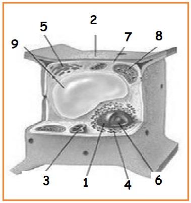 42. Struktur di dalam sel yang mengatur semua aktivitas sel adalah
