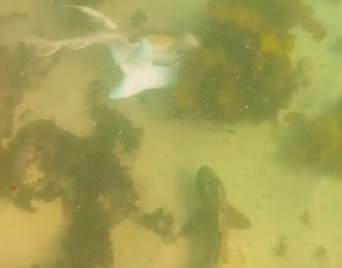 Port Jackson shark feeling amorous - shark sex tape