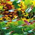 Fish species n.4 - Neon tetras (Paracheirodon innesi)