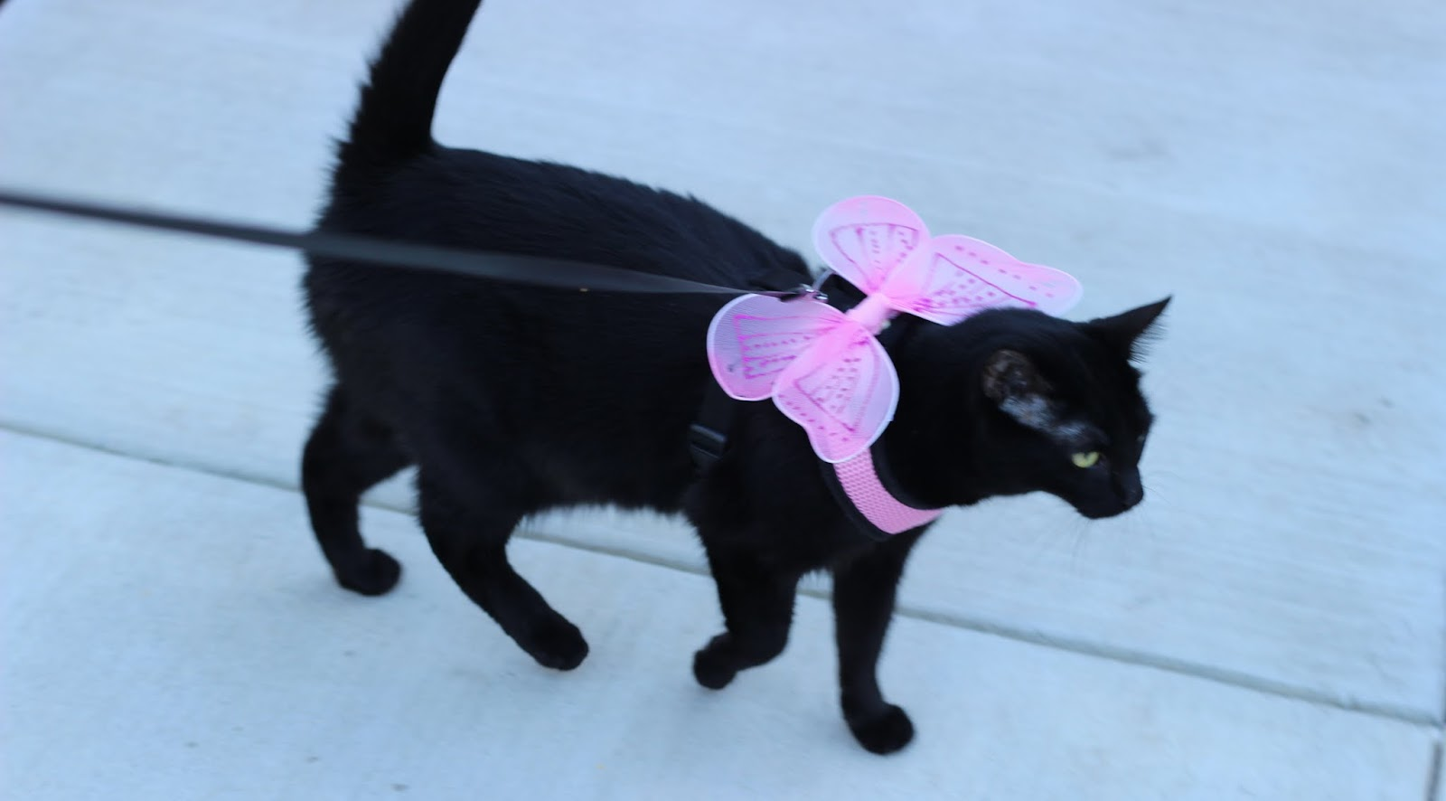Cute cat walking on a leash