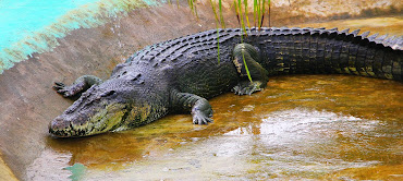 Lolong Crocodile How lolong capturedLolong Crocodile Taxidermy