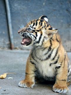 tiger call