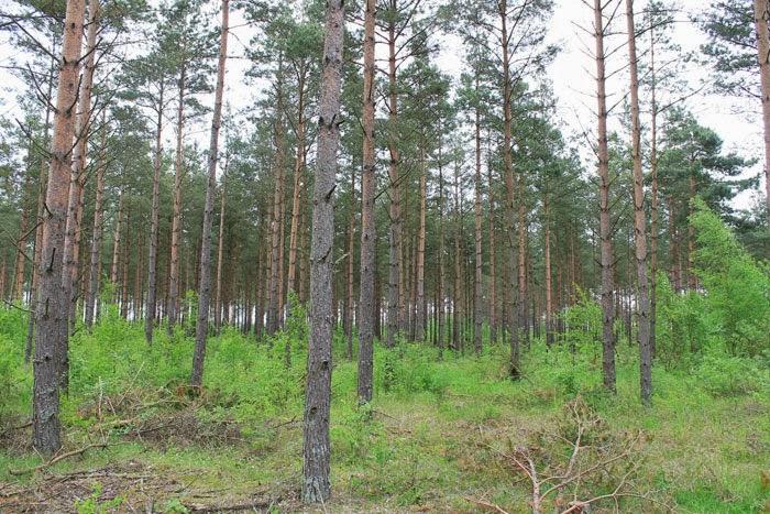 Bosco di pino silvestre