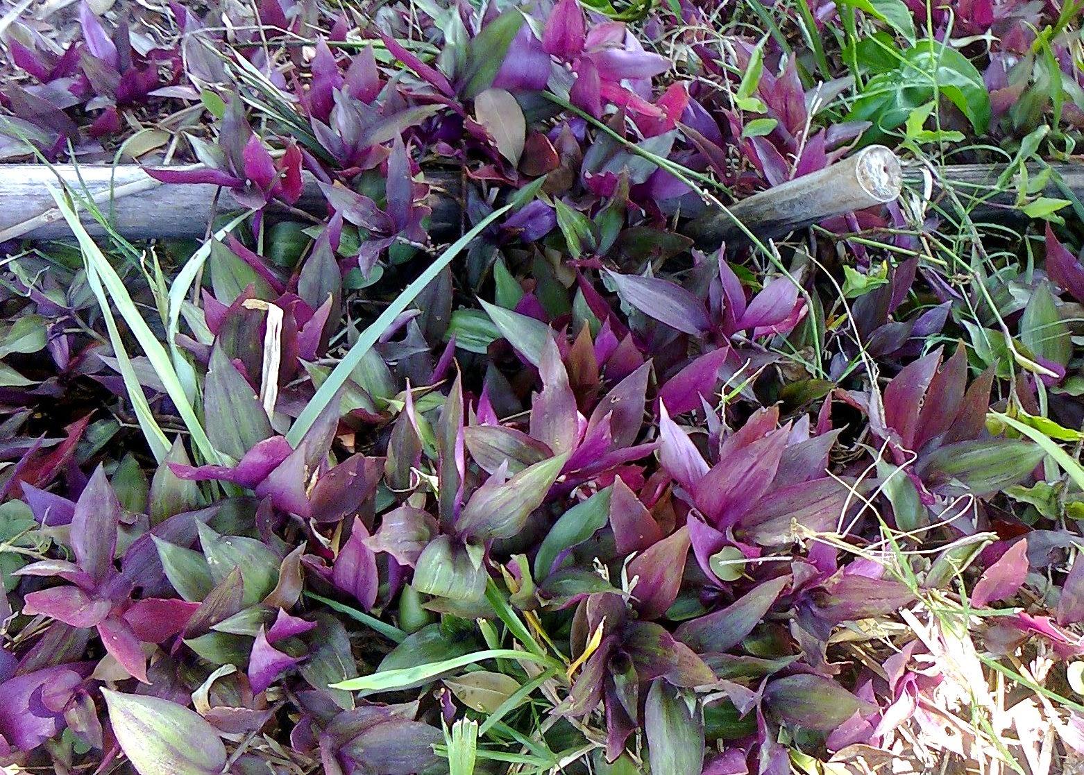 Son plantas rústicas y de fácil propagación, consideradas como