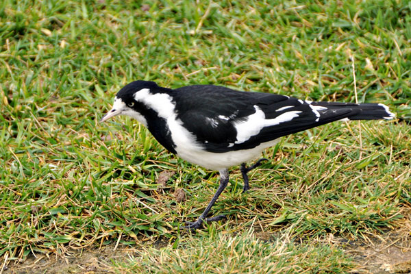 magpie adelaide river