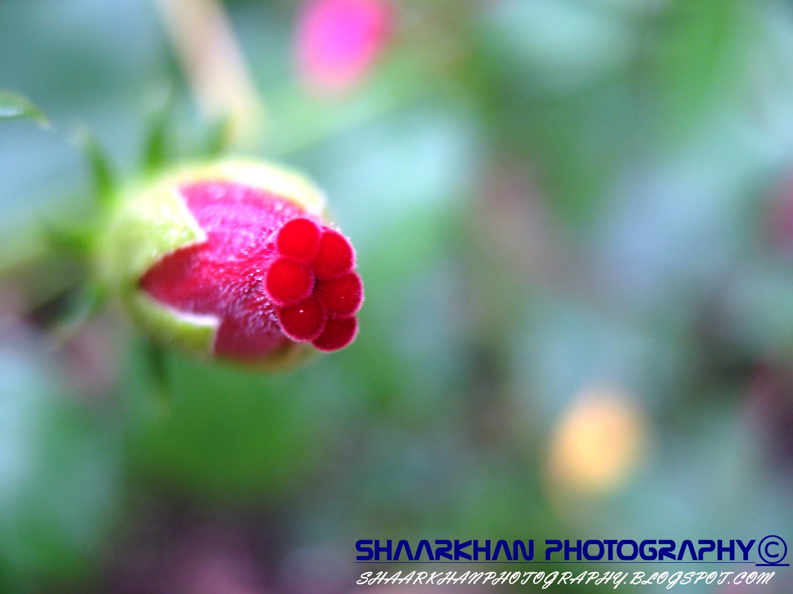 Life Cycle Of A Chembarathippovu Hibiscus Shaarkhan Photography