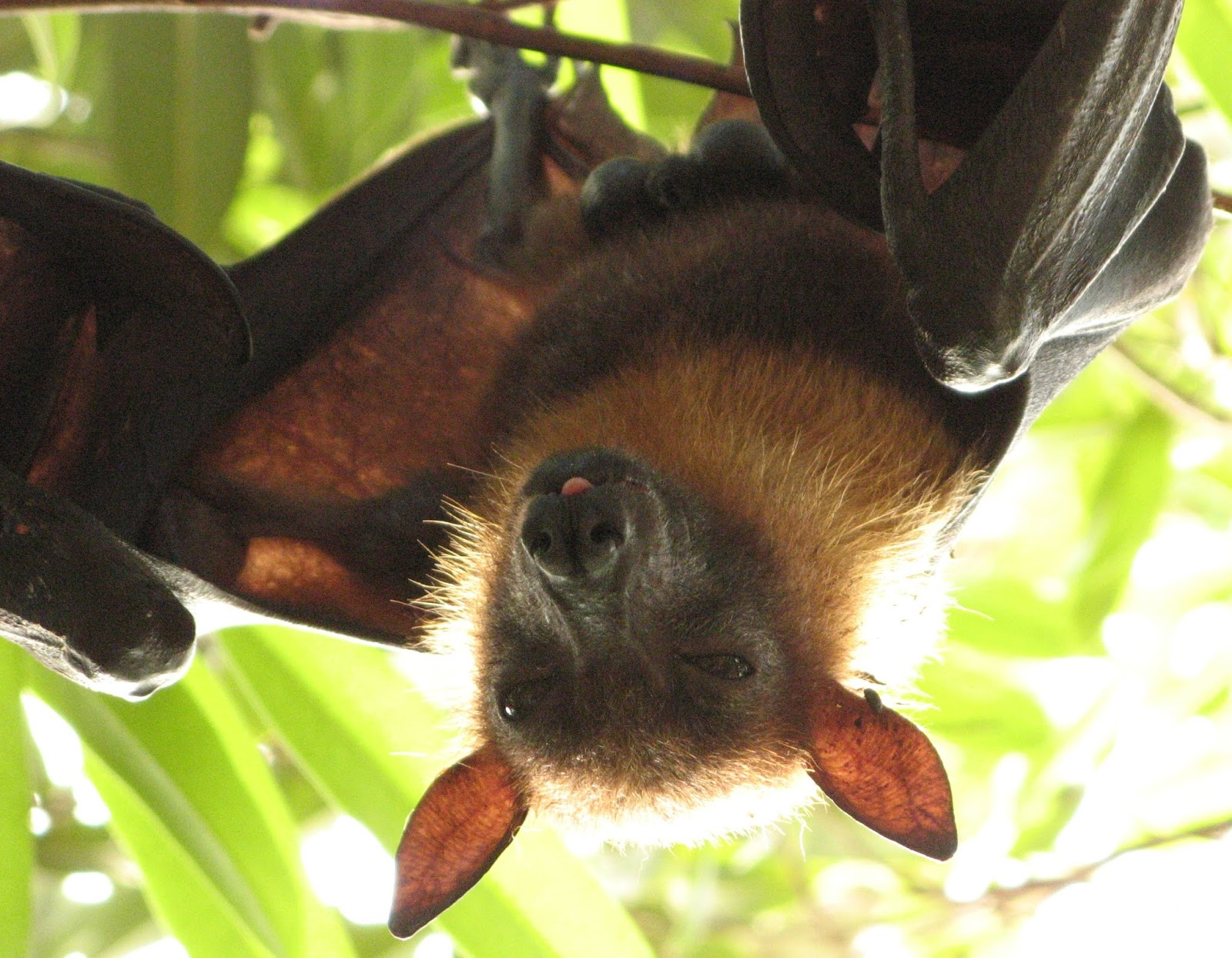 Dog Faced Bats Pictures