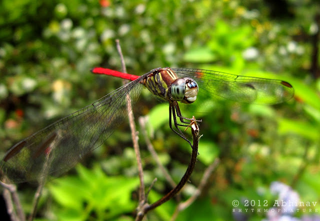 Red Tailed Dragonfly