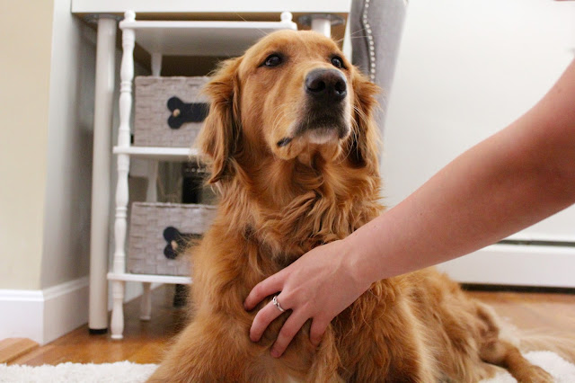 Keeping your golden smelling fresh with CHI for DOGS deodorizing spray