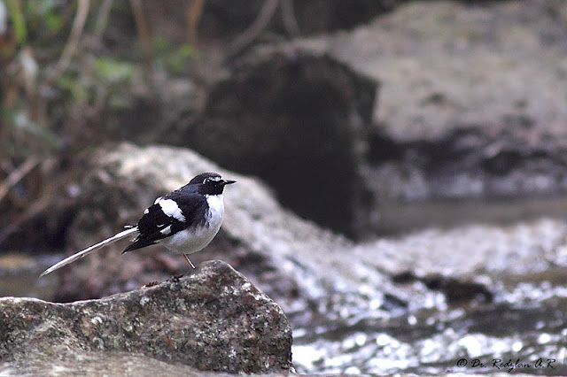 Slaty-backed Forktail at Jeriau Fraser's Hill