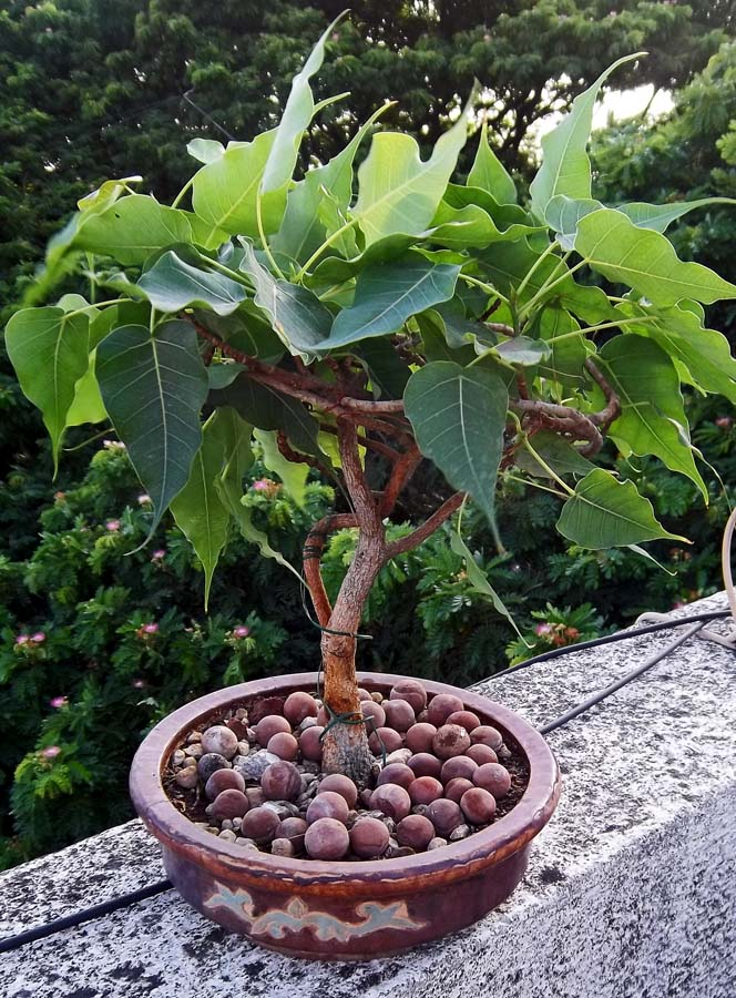 Fig Tree Bonsai