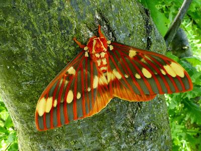 Citheronia regalis male