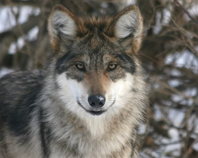 White wolf file under encouraging and good news for White mountain apache game and fish