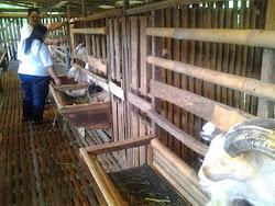 Kunjungan ke Peternakan Kambing Perah (PE, Saanen, Savera) tgl 2 Oktober 2013