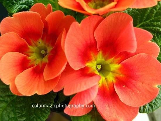 Coral red Primroses