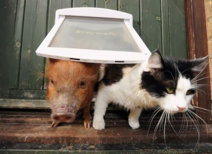 Funny animals of the week - 31 January 2014 (40 pics), kitten and pig on dog door