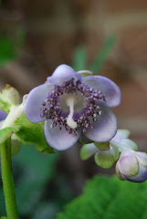 Deinanthe caerulea