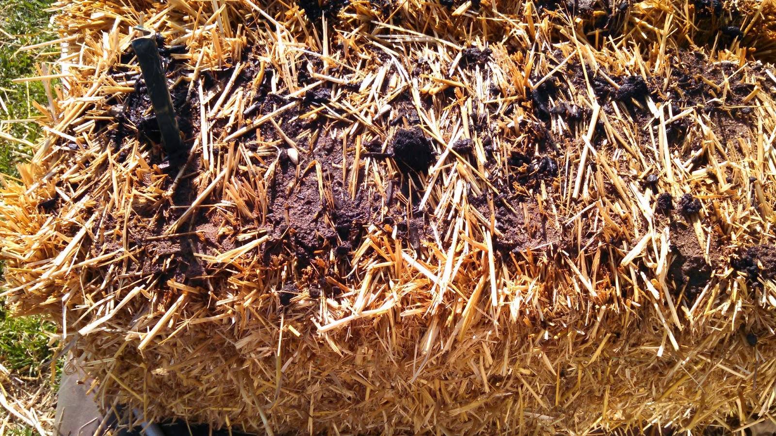 Straw Bales, Day 4, After Watering, Close-up