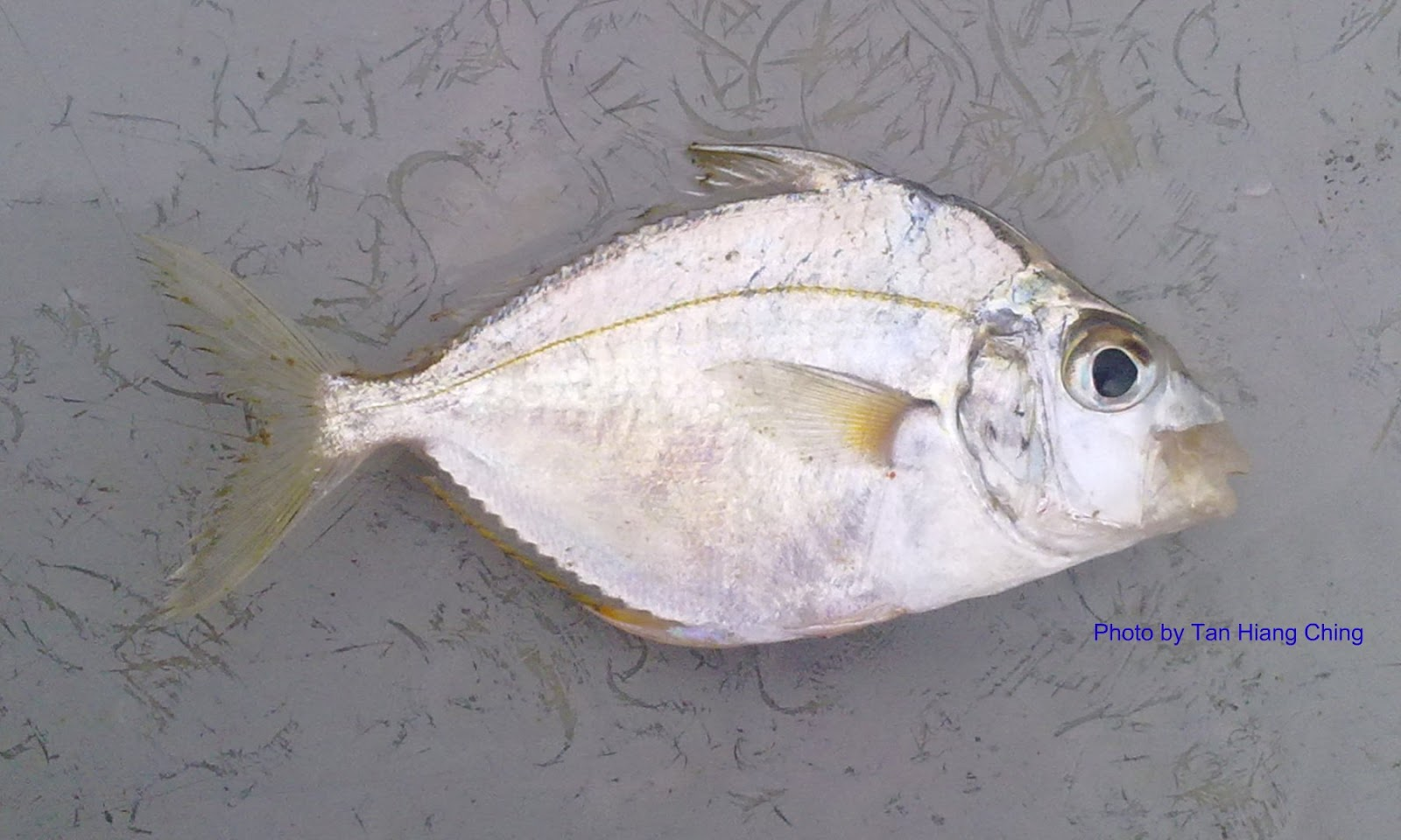 Ponyfishes talk about fish for Scientific name of fish