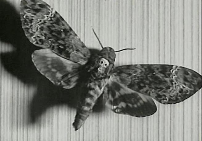 Fotograma que muestra la mariposa Acherontia atropos en la pared de la habitación