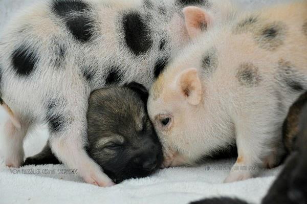 cerdos y perros