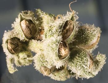 flores de cannabis con semillas