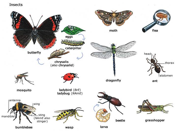 type+of+insects.jpg: overweeninggeneralist.blogspot.com/2013/04/insect-imagery-in-kafka...