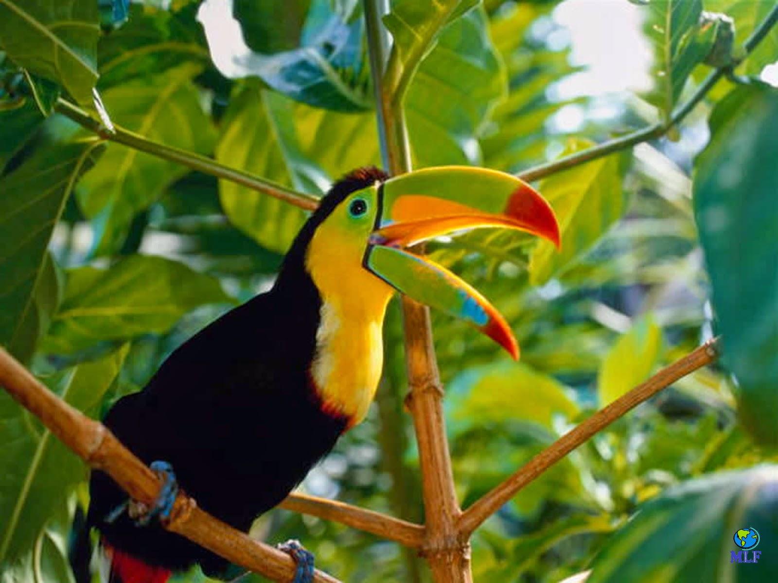 El Reino Animal: EL TUCAN. El ave del pico multicolor.