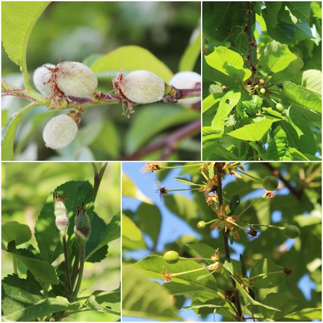owoc brzoskwini,drzewa owocowe w ogrodzie czy warto,blog wnętrza DIy lifestyle,domowo,piękny ogród