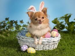 Dog in wicker basket.
