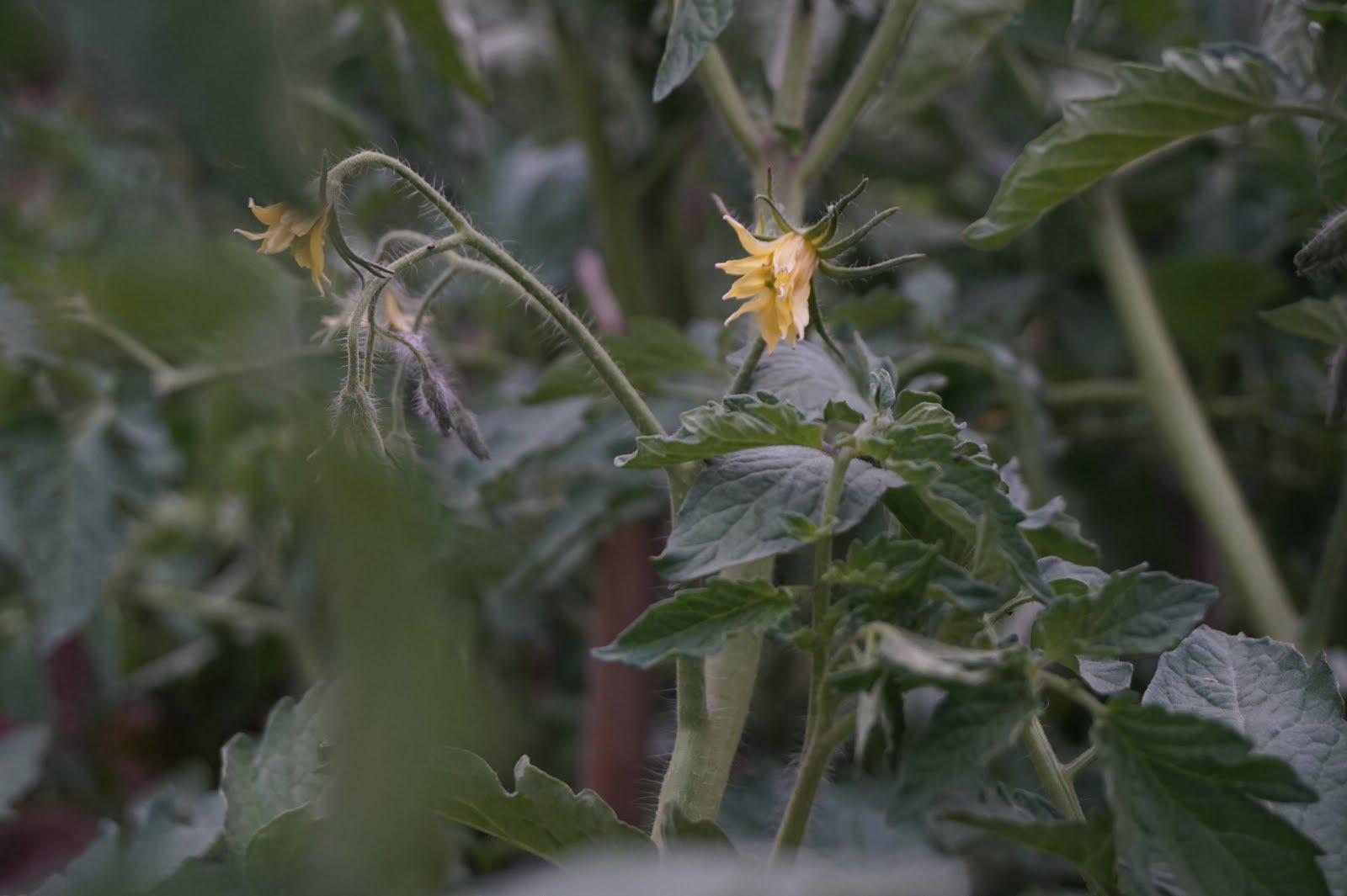 Flor de tomaquera. Juny 2017