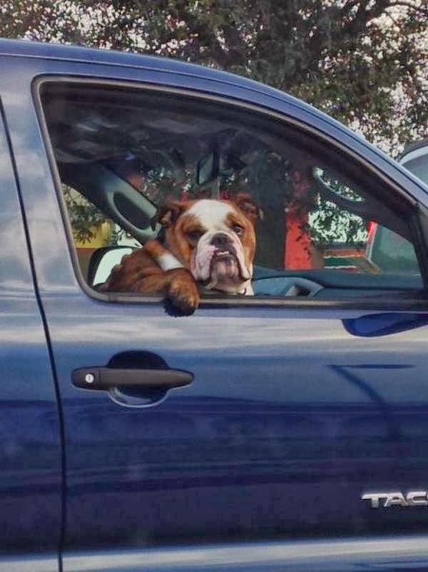 Cute dogs - part 7 (50 pics), dog car rides