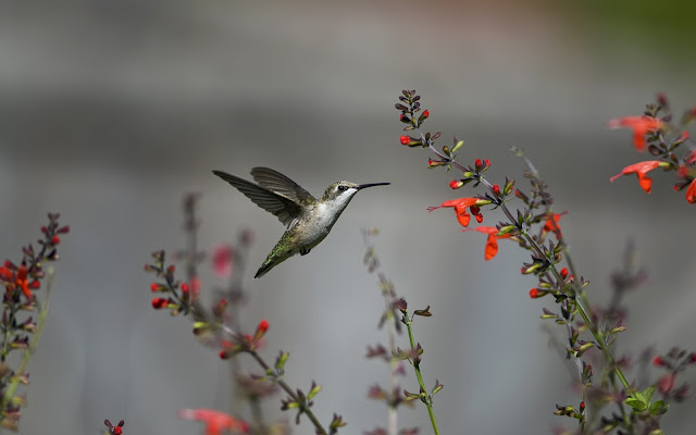 Little Hummingbird and Flowers HD Wallpaper